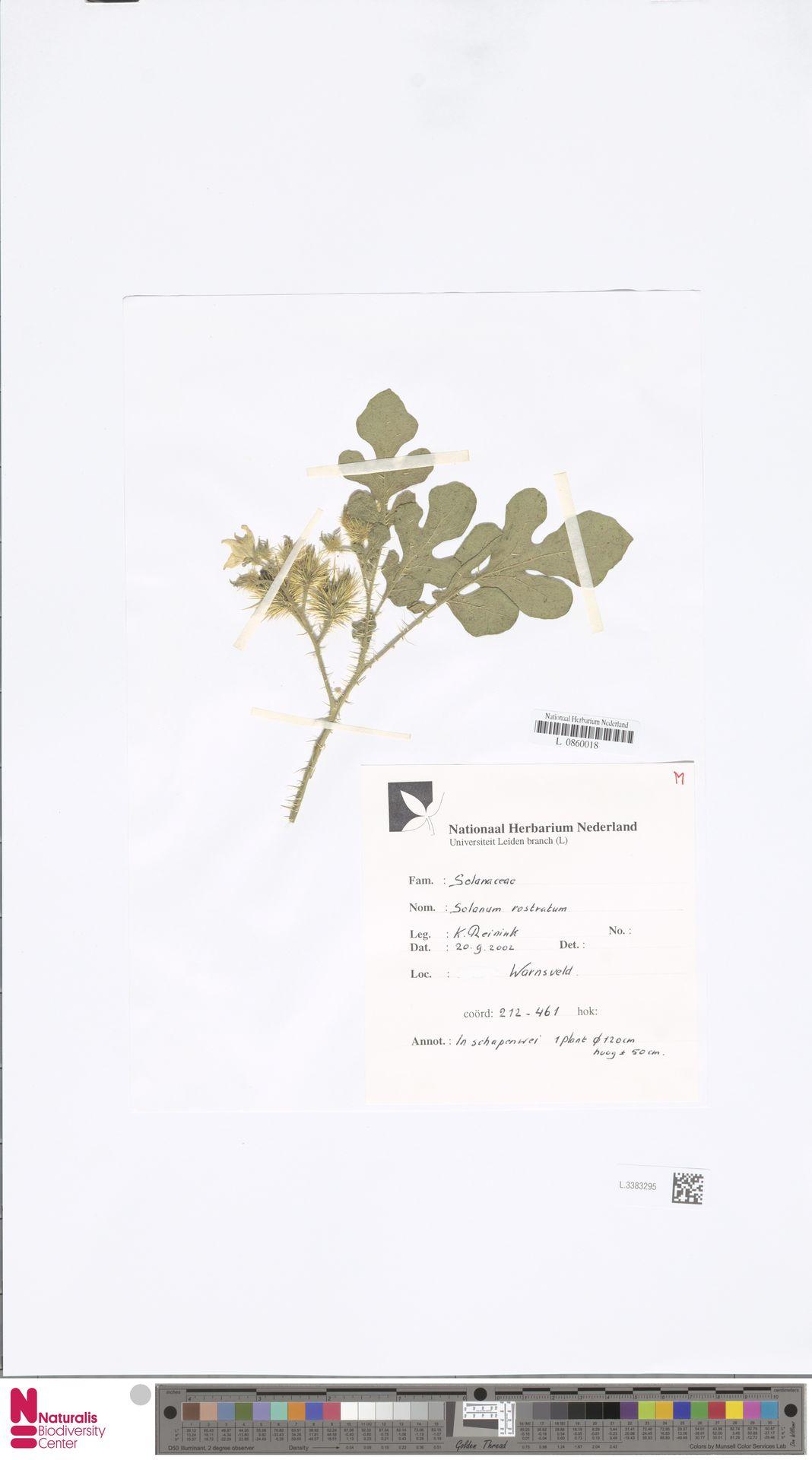 L.3383295 | Solanum rostratum Dunal