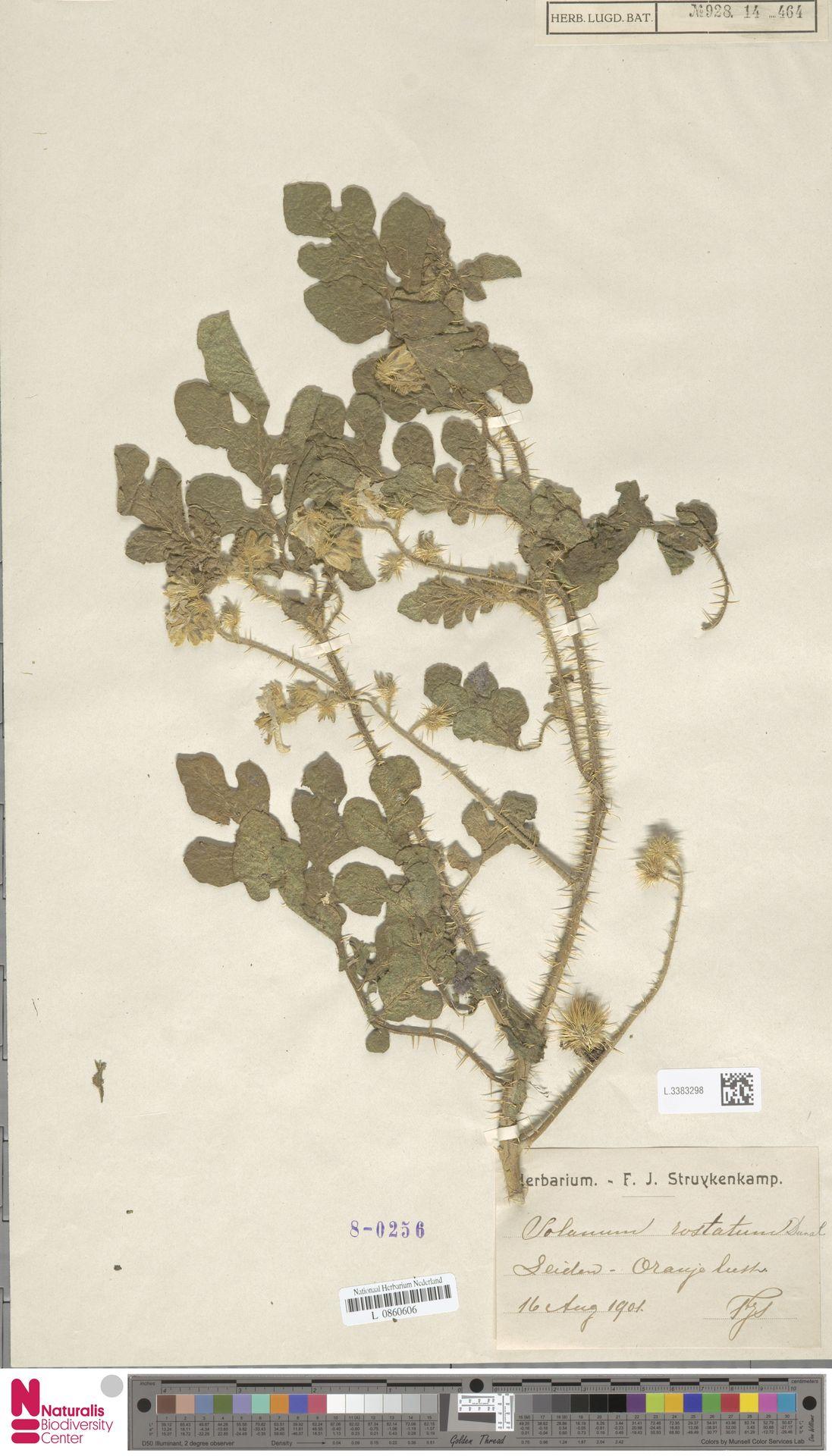 L.3383298 | Solanum rostratum Dunal