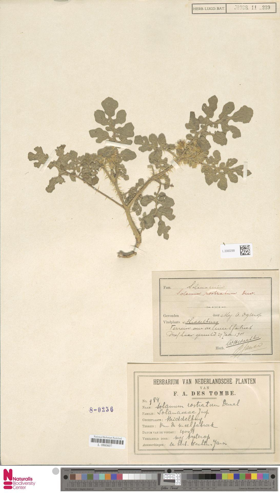 L.3383299   Solanum rostratum Dunal
