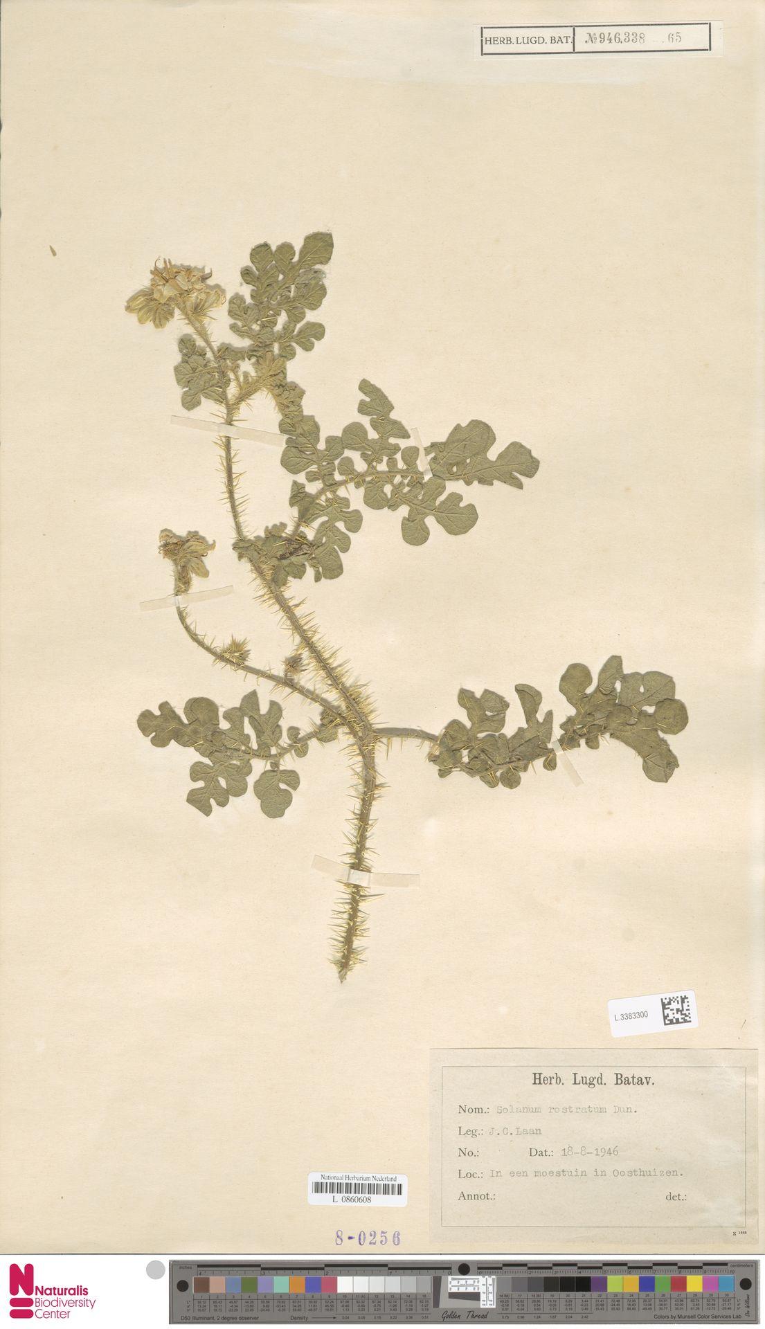 L.3383300 | Solanum rostratum Dunal