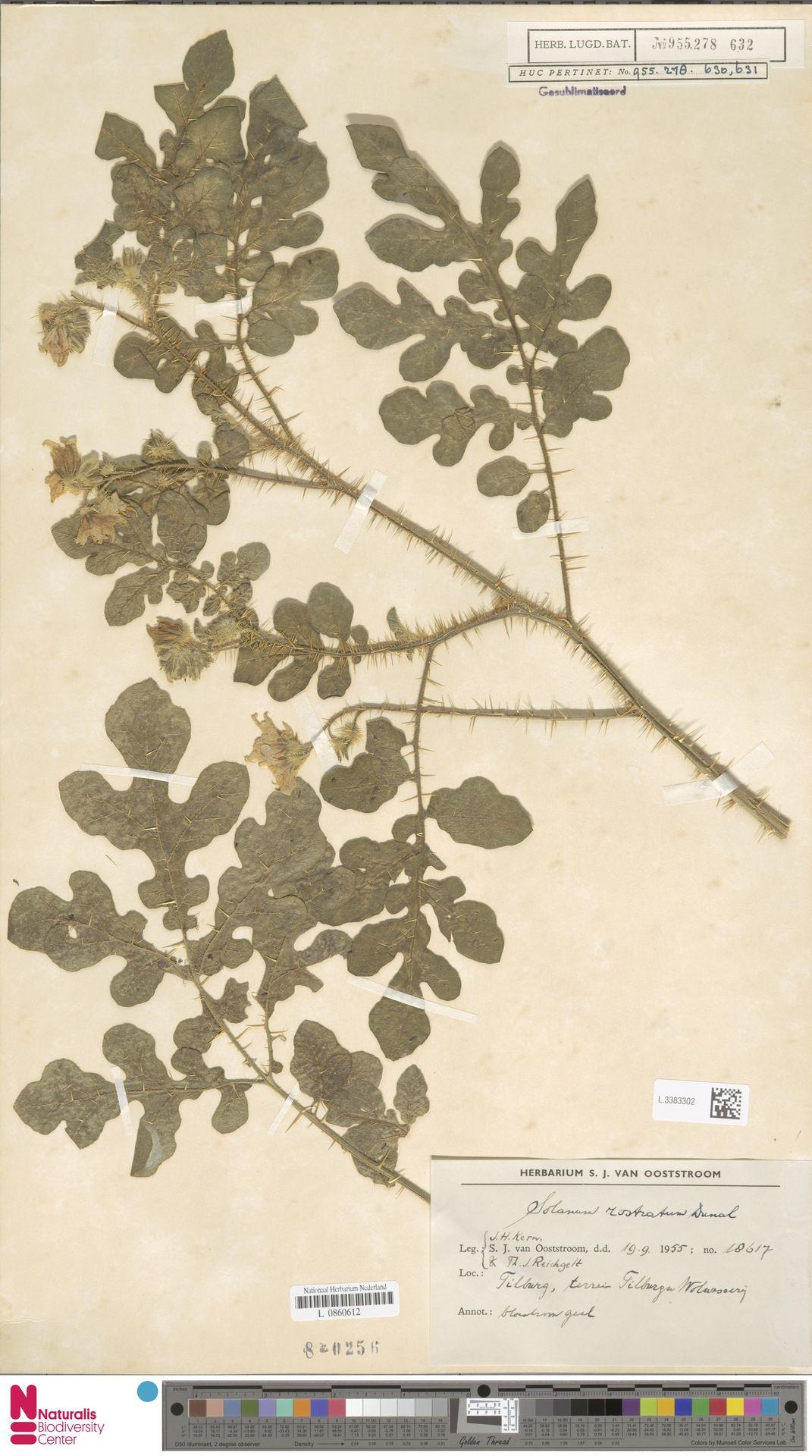 L.3383302   Solanum rostratum Dunal