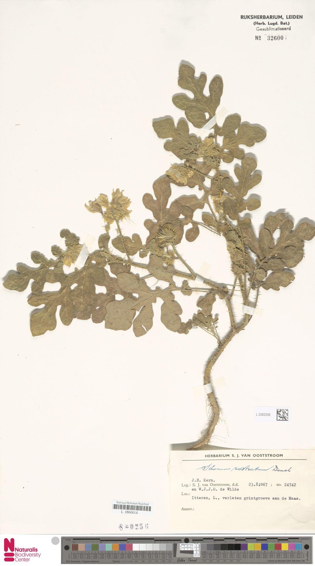 L.3383306 | Solanum rostratum Dunal