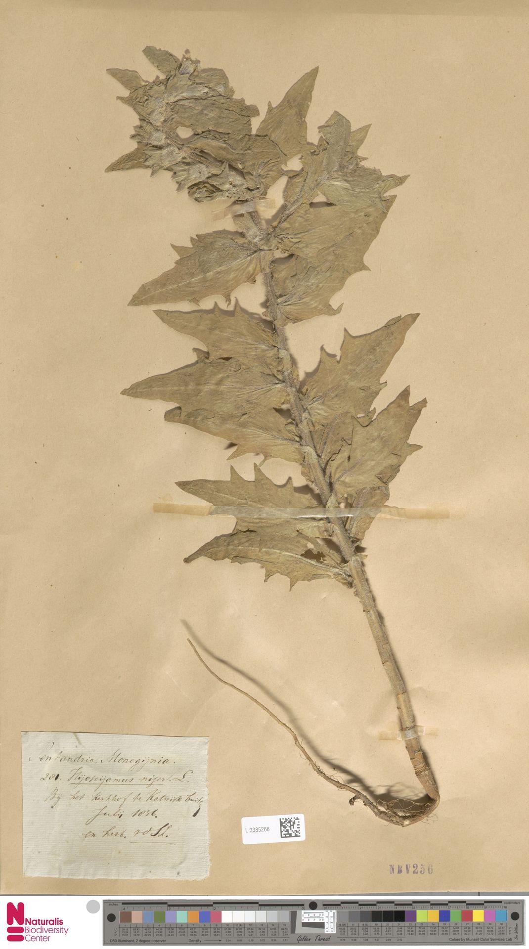 L.3385266 | Hyoscyamus niger L.