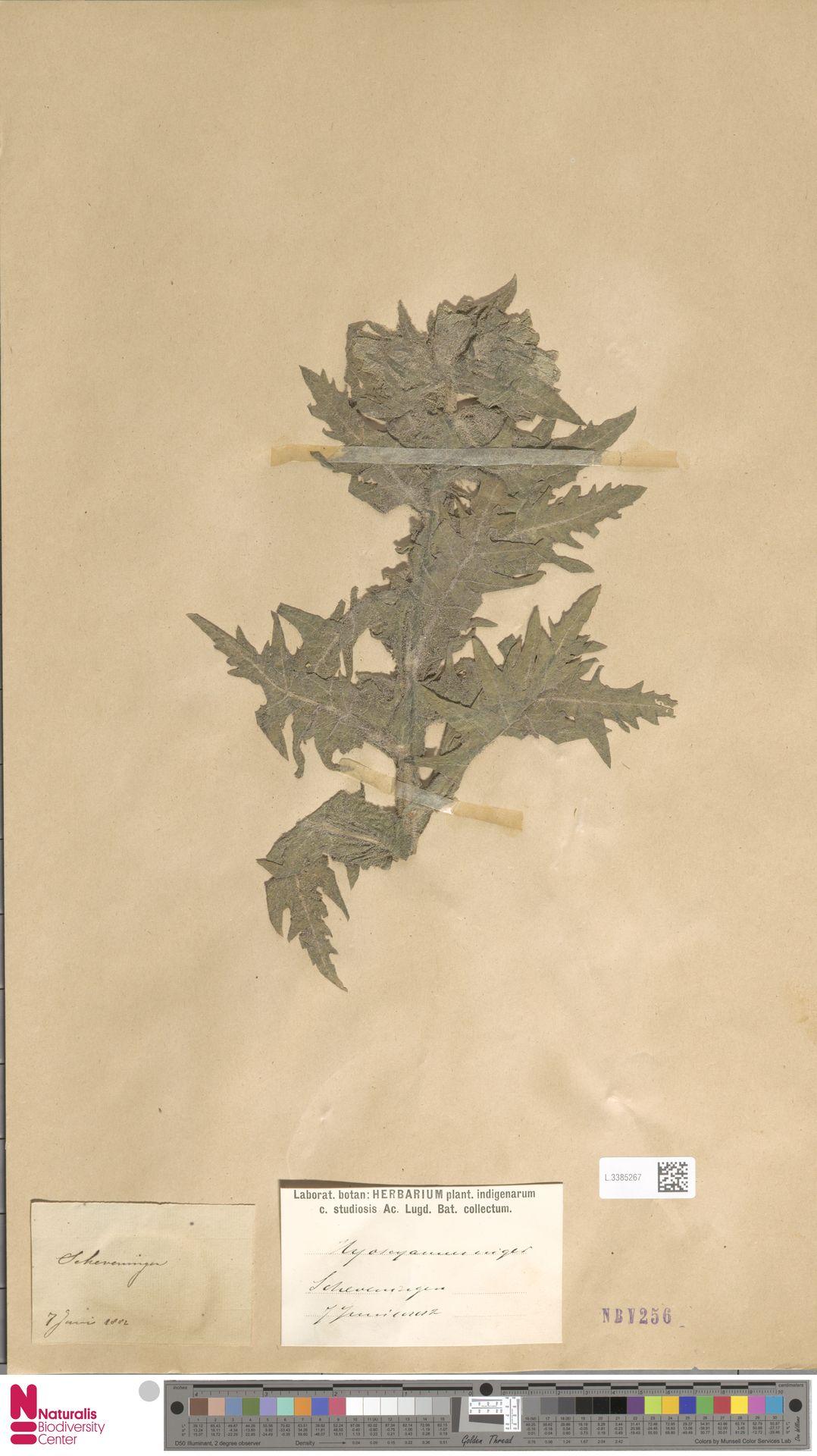 L.3385267 | Hyoscyamus niger L.