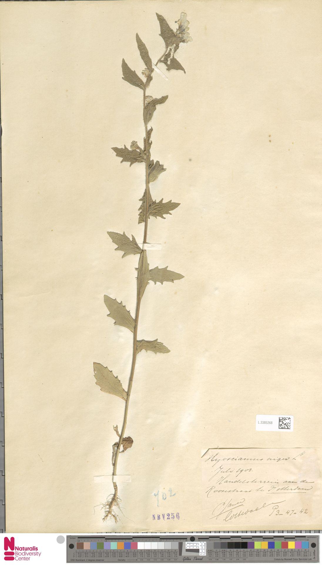 L.3385268 | Hyoscyamus niger L.