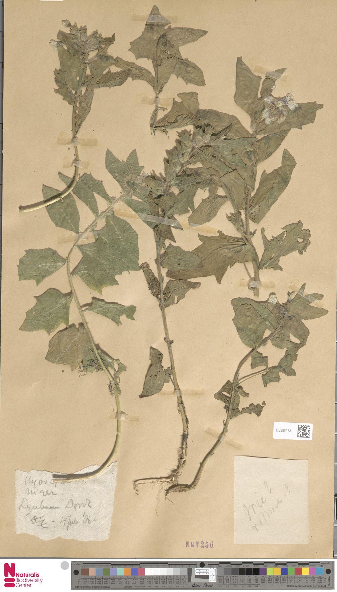 L.3385273   Hyoscyamus niger L.