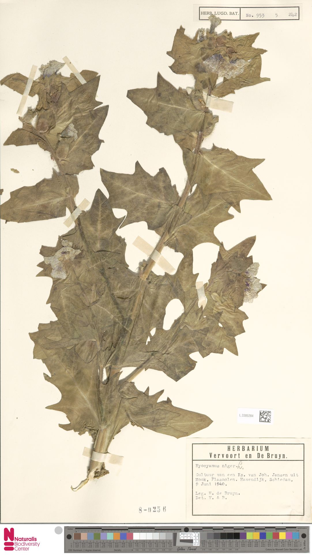 L.3385284 | Hyoscyamus niger L.