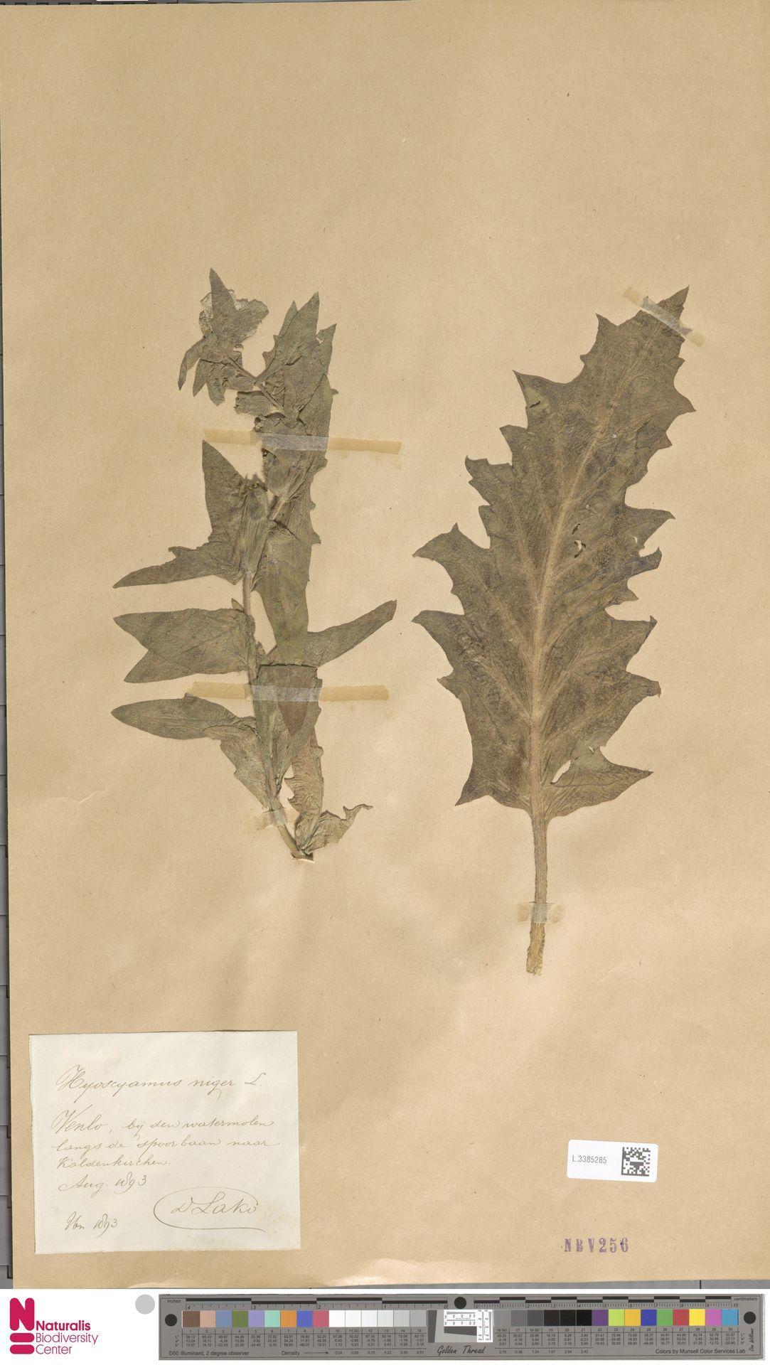 L.3385285   Hyoscyamus niger L.