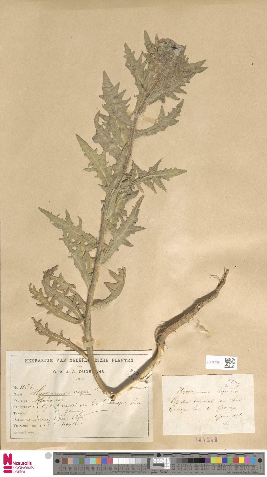 L.3385286 | Hyoscyamus niger L.