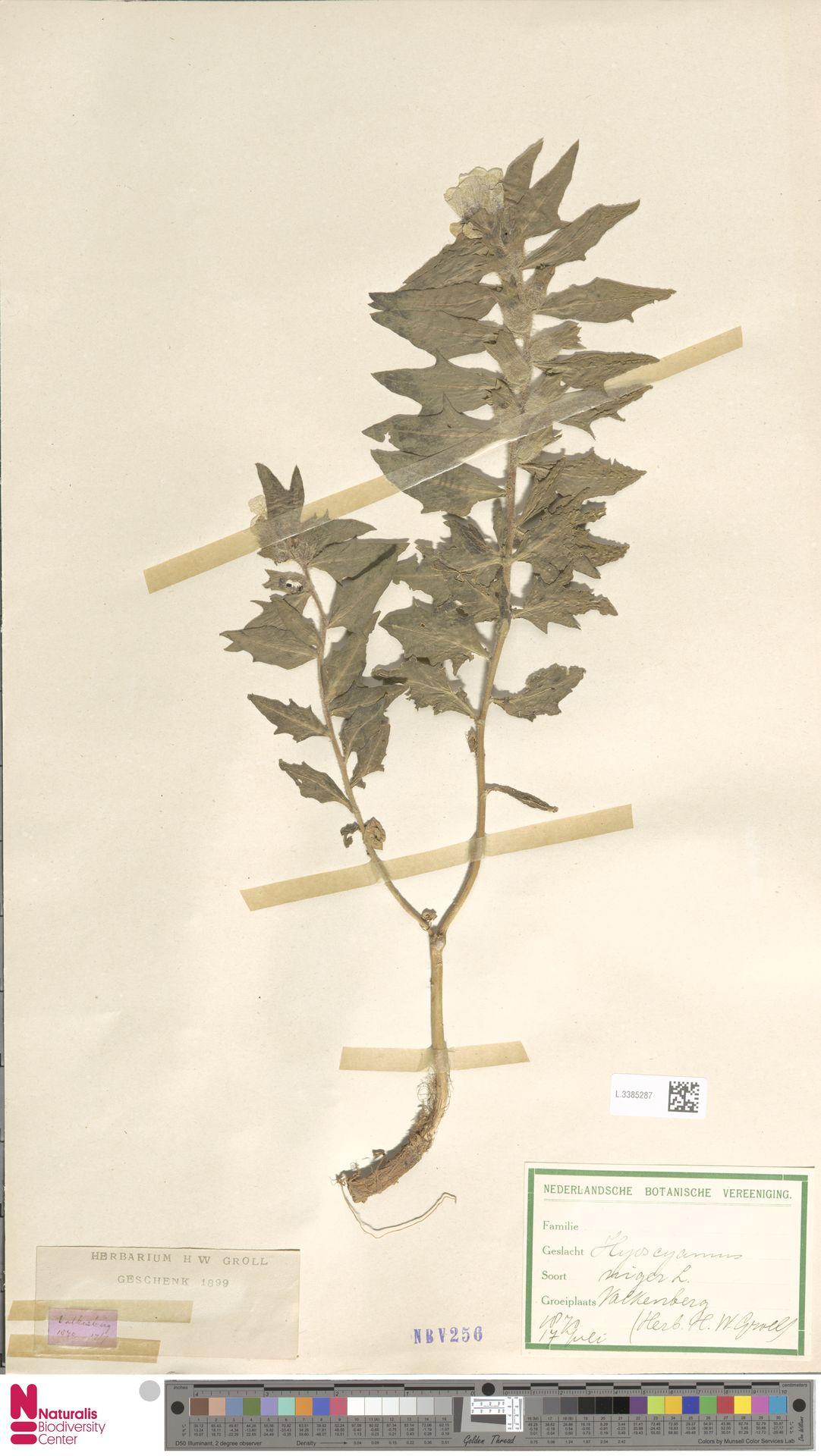 L.3385287   Hyoscyamus niger L.
