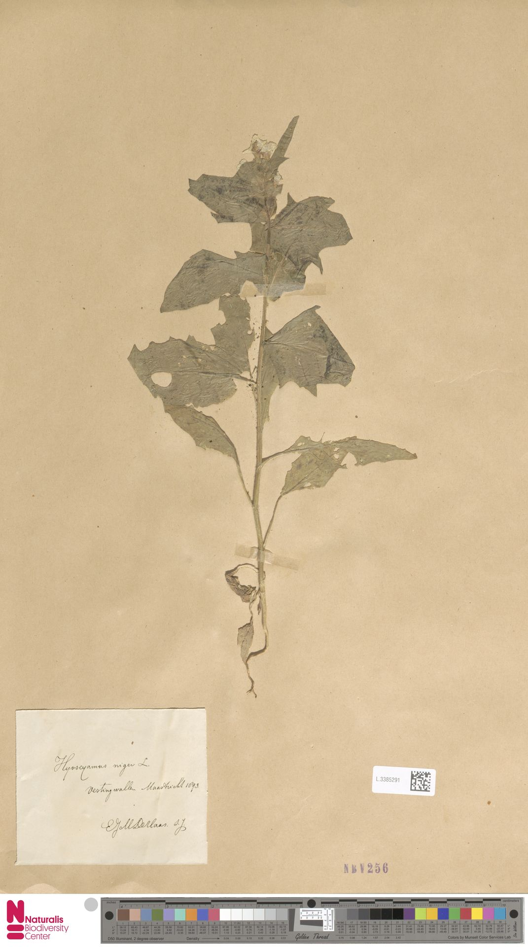 L.3385291 | Hyoscyamus niger L.