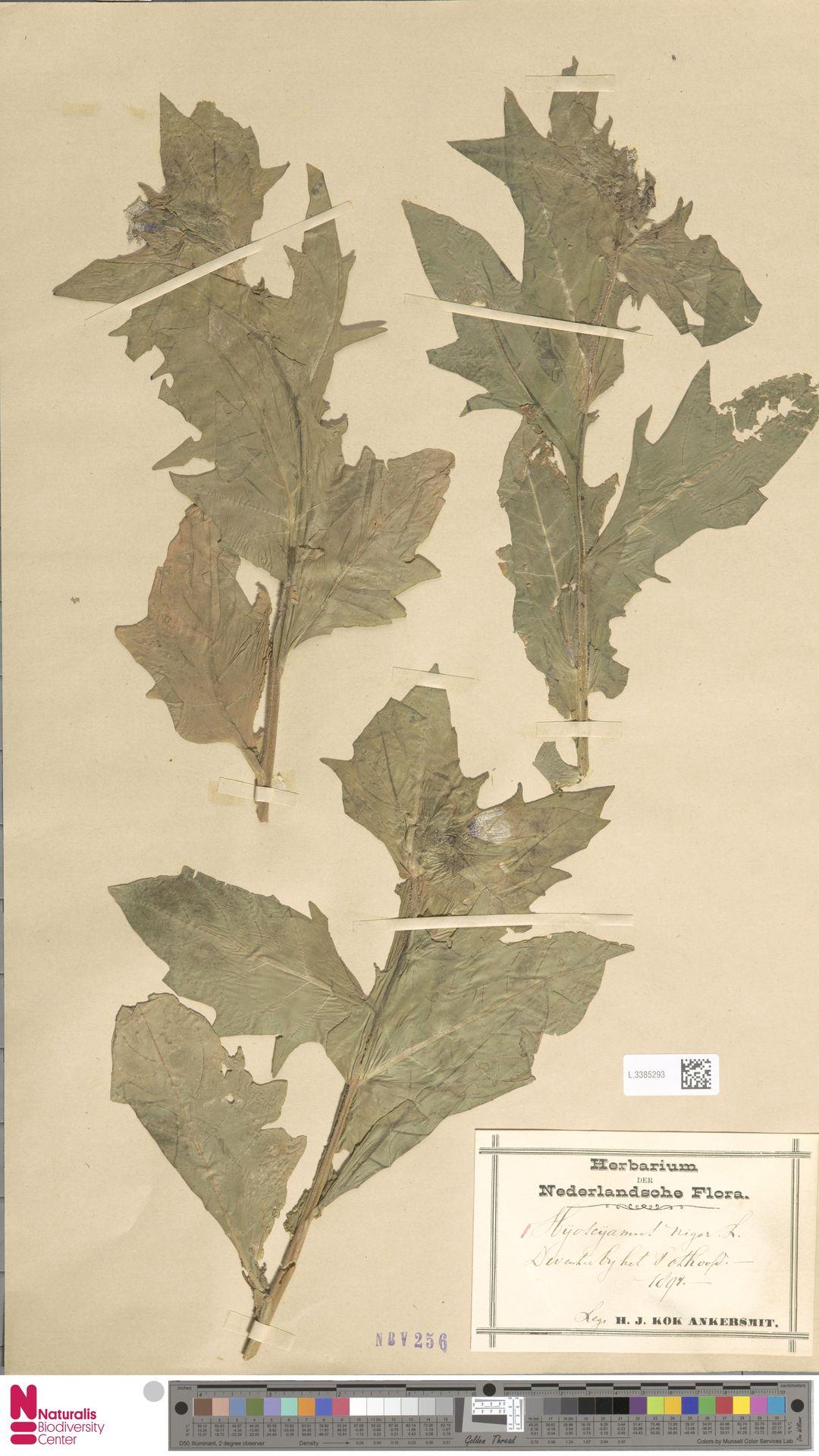 L.3385293 | Hyoscyamus niger L.