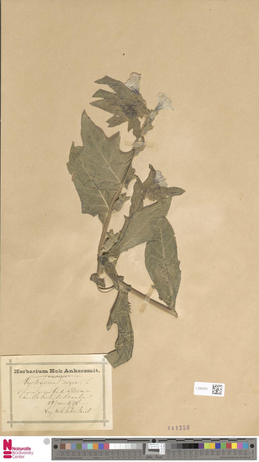 L.3385325 | Hyoscyamus niger L.