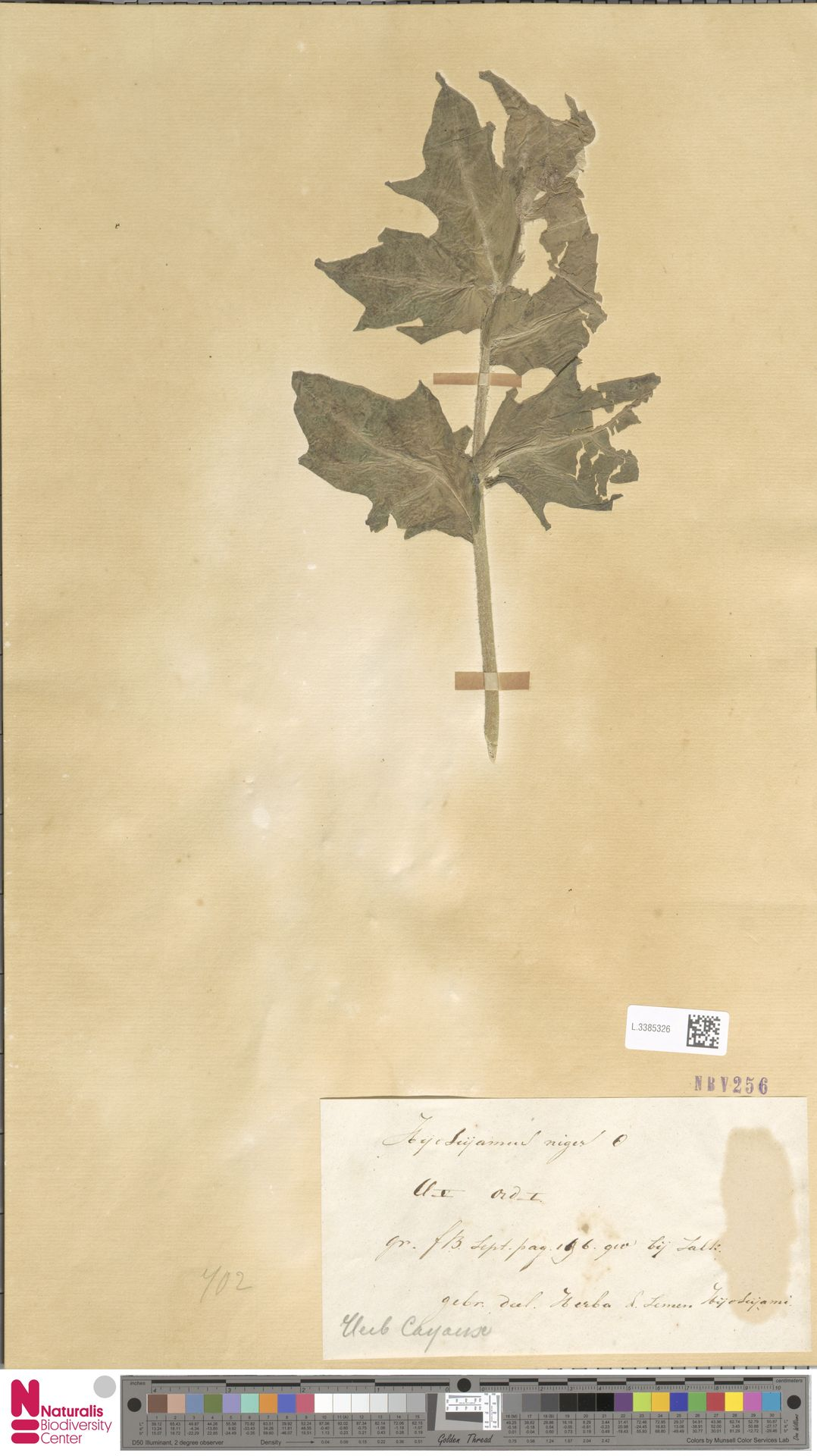 L.3385326   Hyoscyamus niger L.