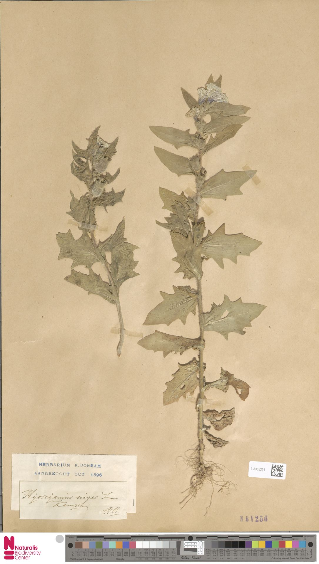 L.3385331 | Hyoscyamus niger L.