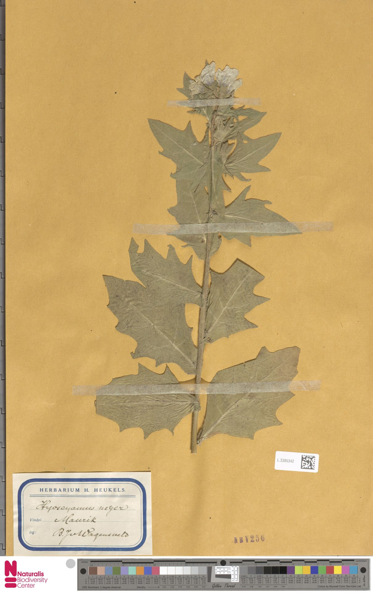 L.3385342 | Hyoscyamus niger L.