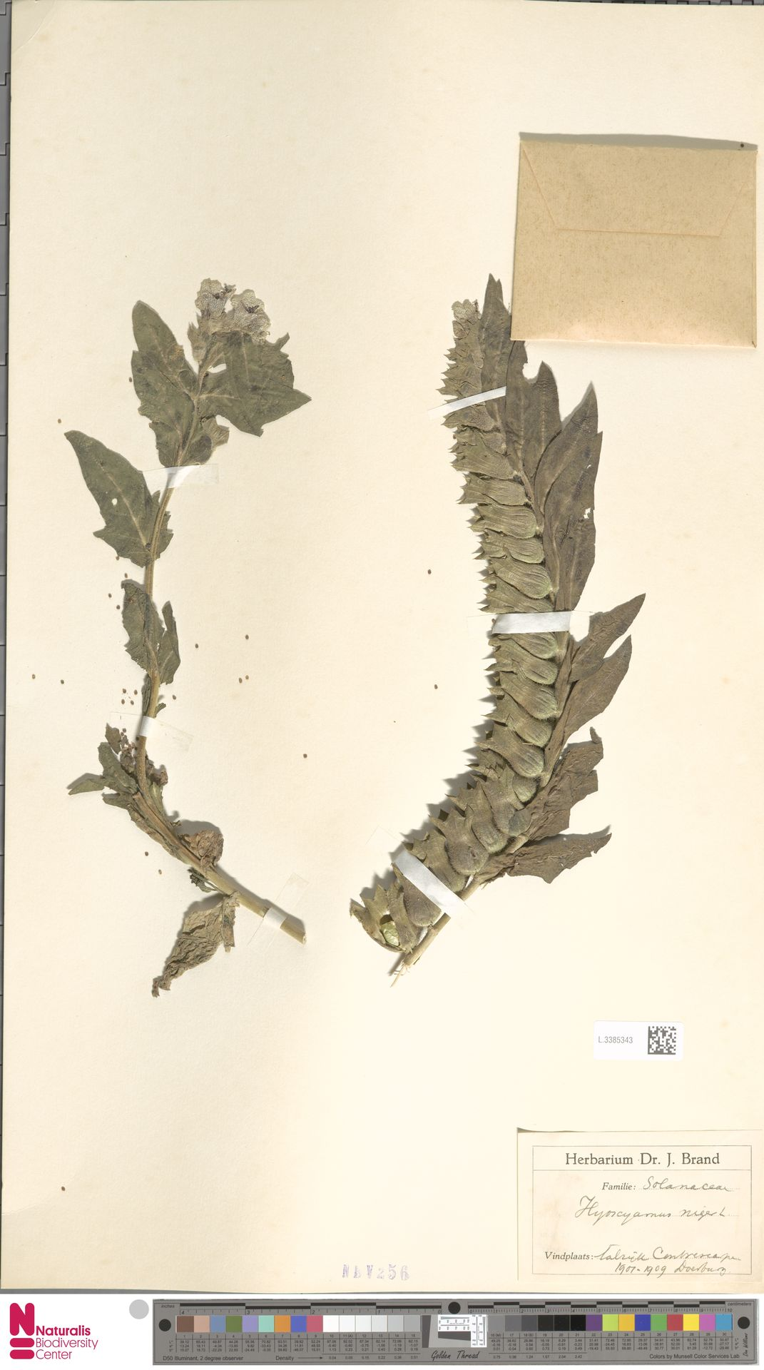 L.3385343   Hyoscyamus niger L.