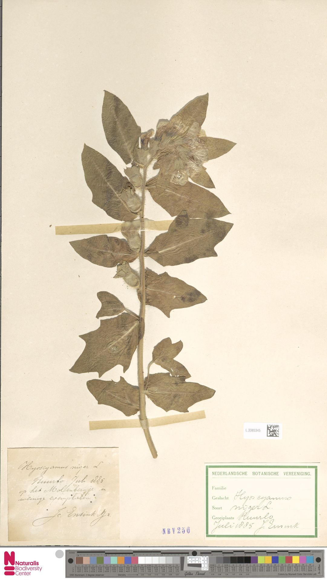 L.3385345   Hyoscyamus niger L.