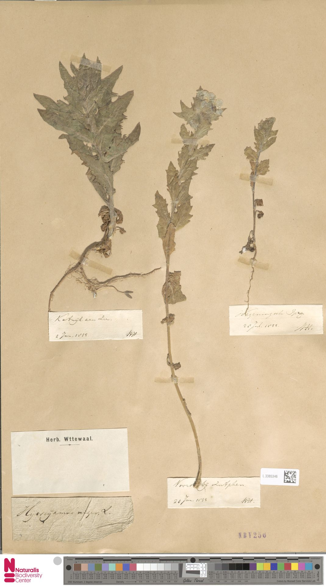 L.3385346   Hyoscyamus niger L.