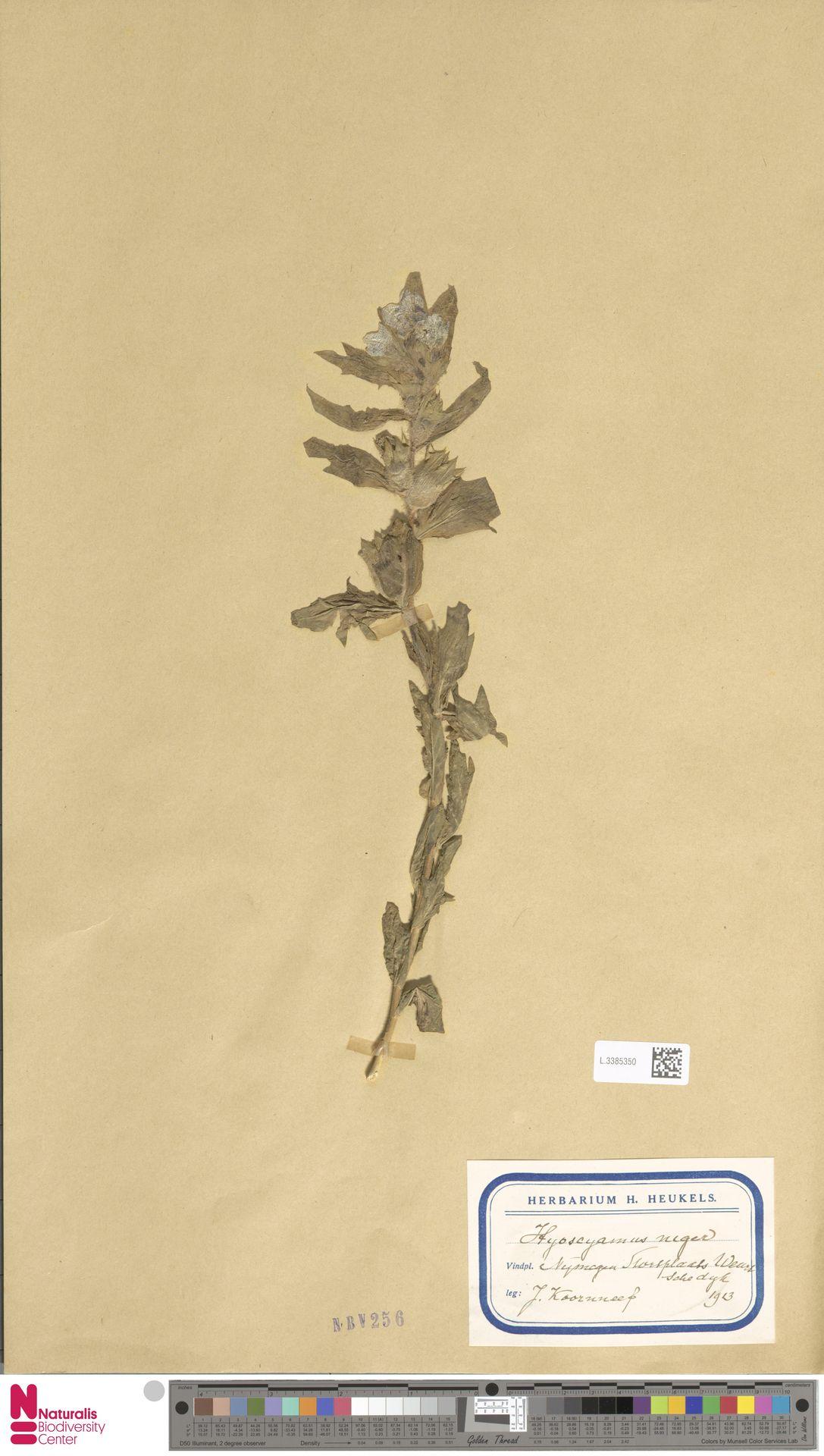 L.3385350 | Hyoscyamus niger L.