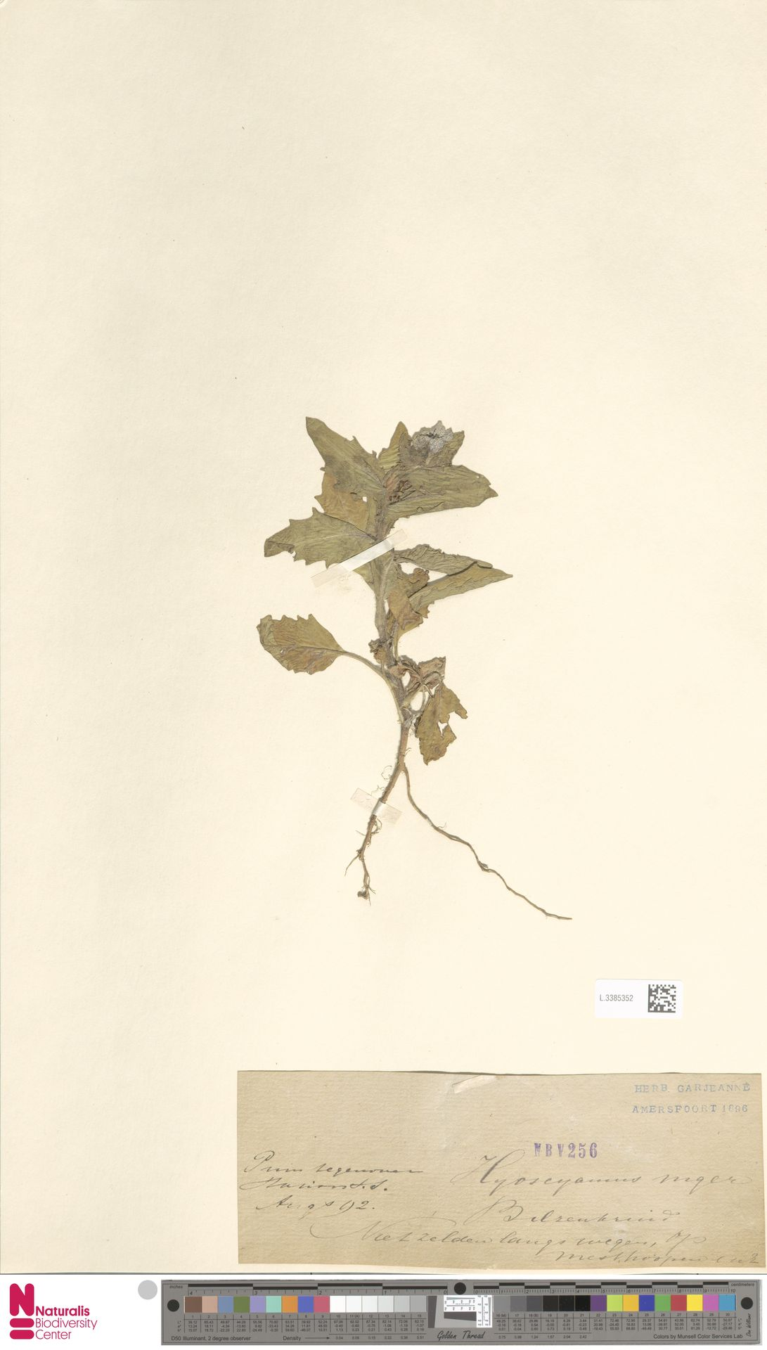 L.3385352 | Hyoscyamus niger L.