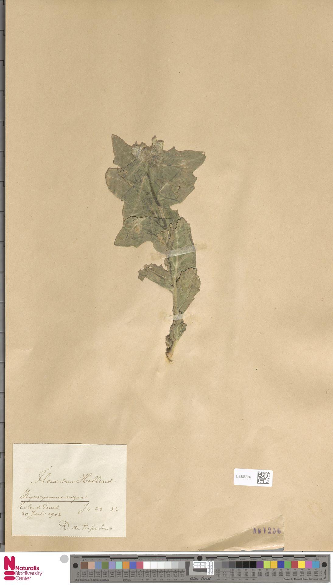L.3385356 | Hyoscyamus niger L.
