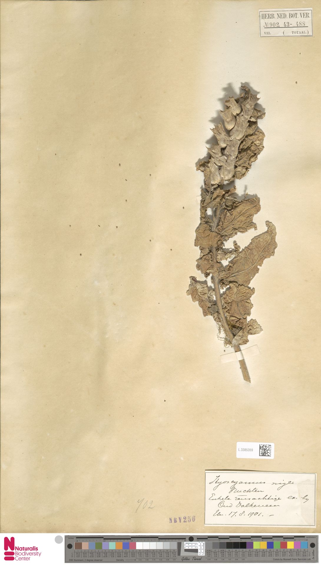L.3385359 | Hyoscyamus niger L.