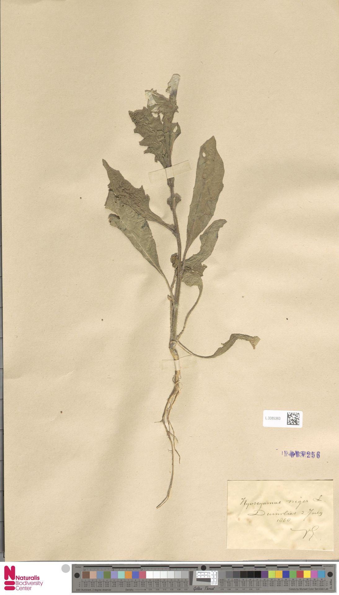 L.3385363   Hyoscyamus niger L.
