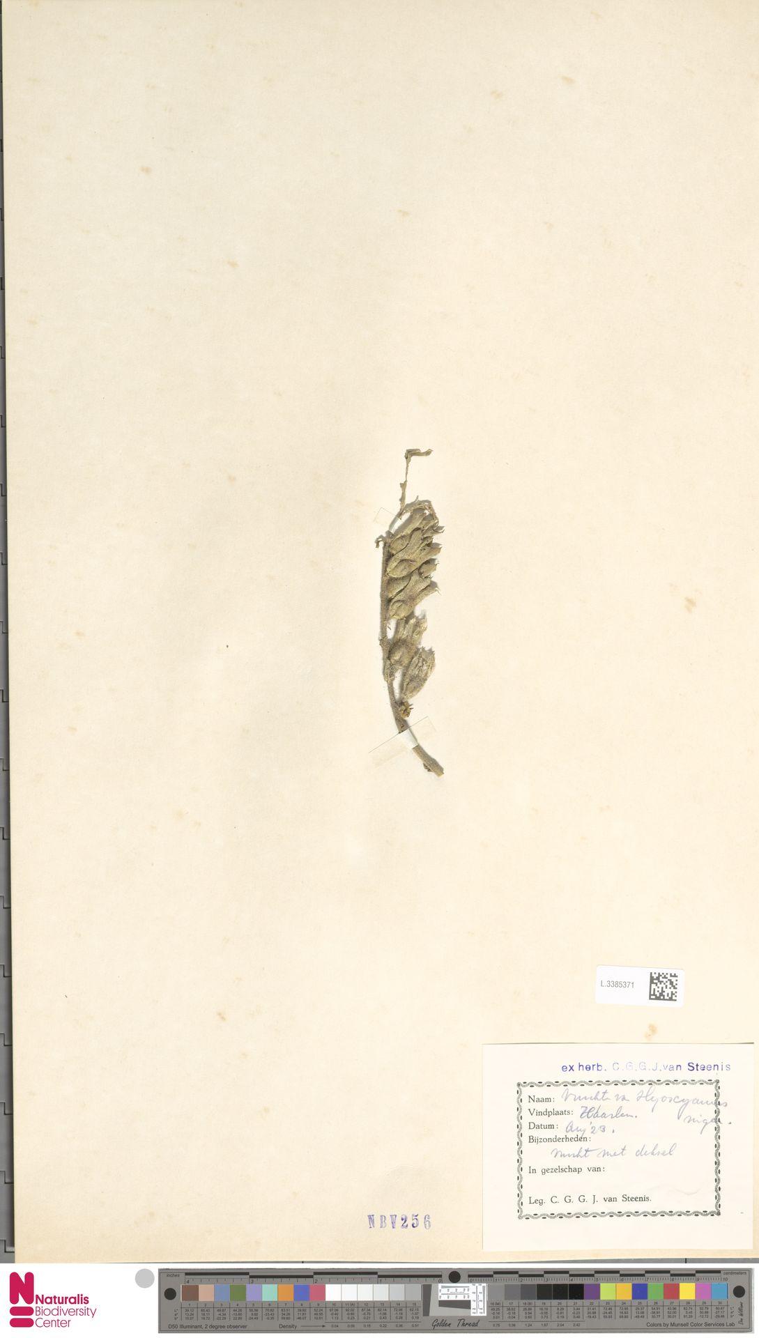L.3385371 | Hyoscyamus niger L.