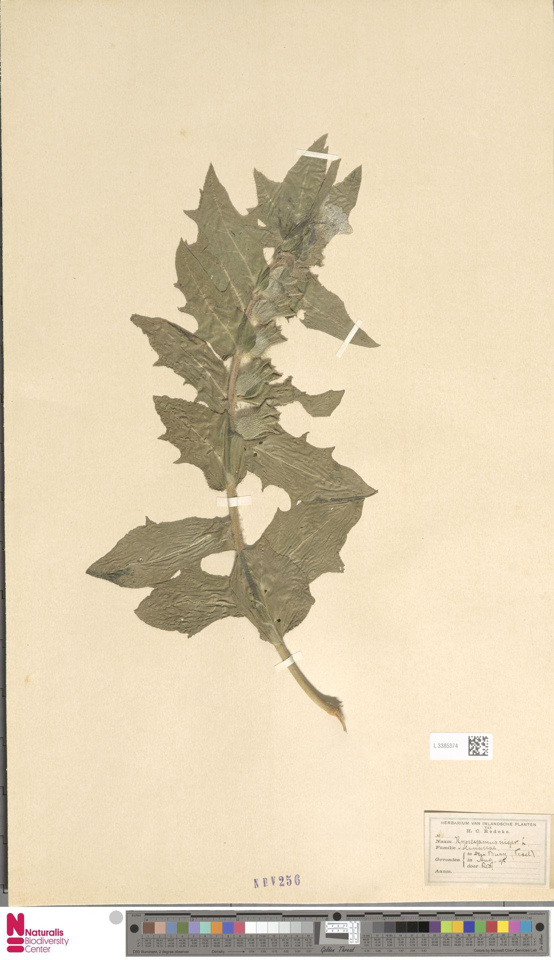 L.3385374 | Hyoscyamus niger L.