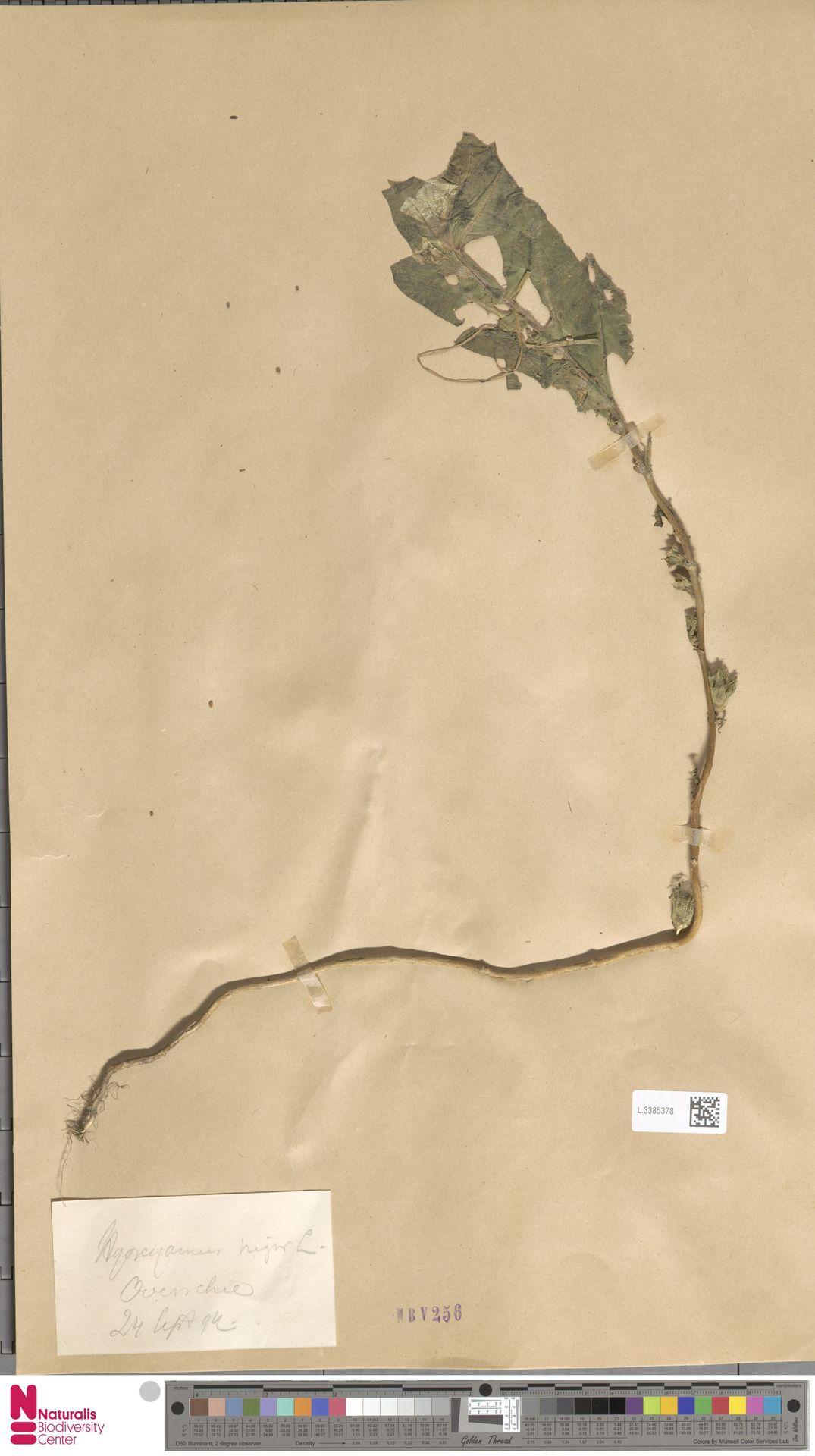 L.3385378 | Hyoscyamus niger L.