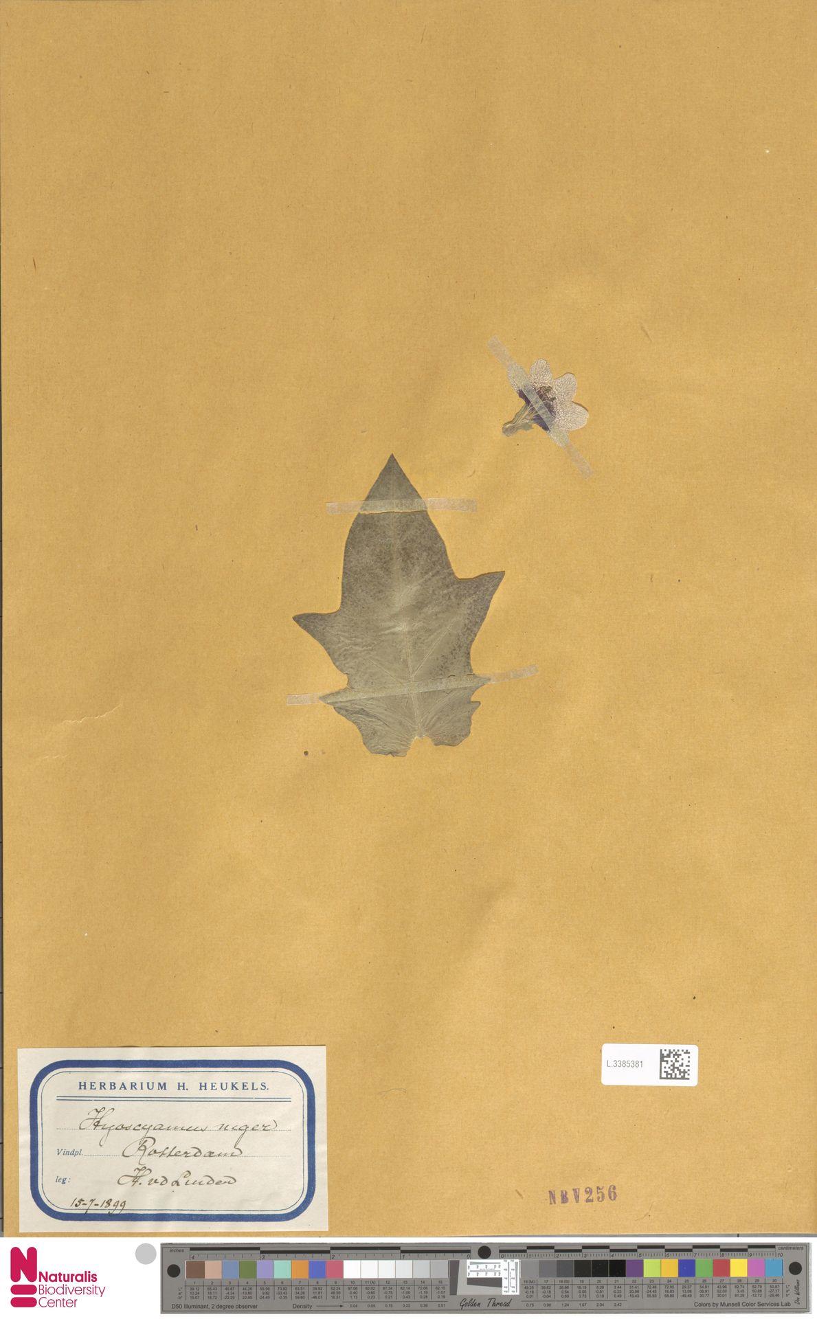 L.3385381 | Hyoscyamus niger L.