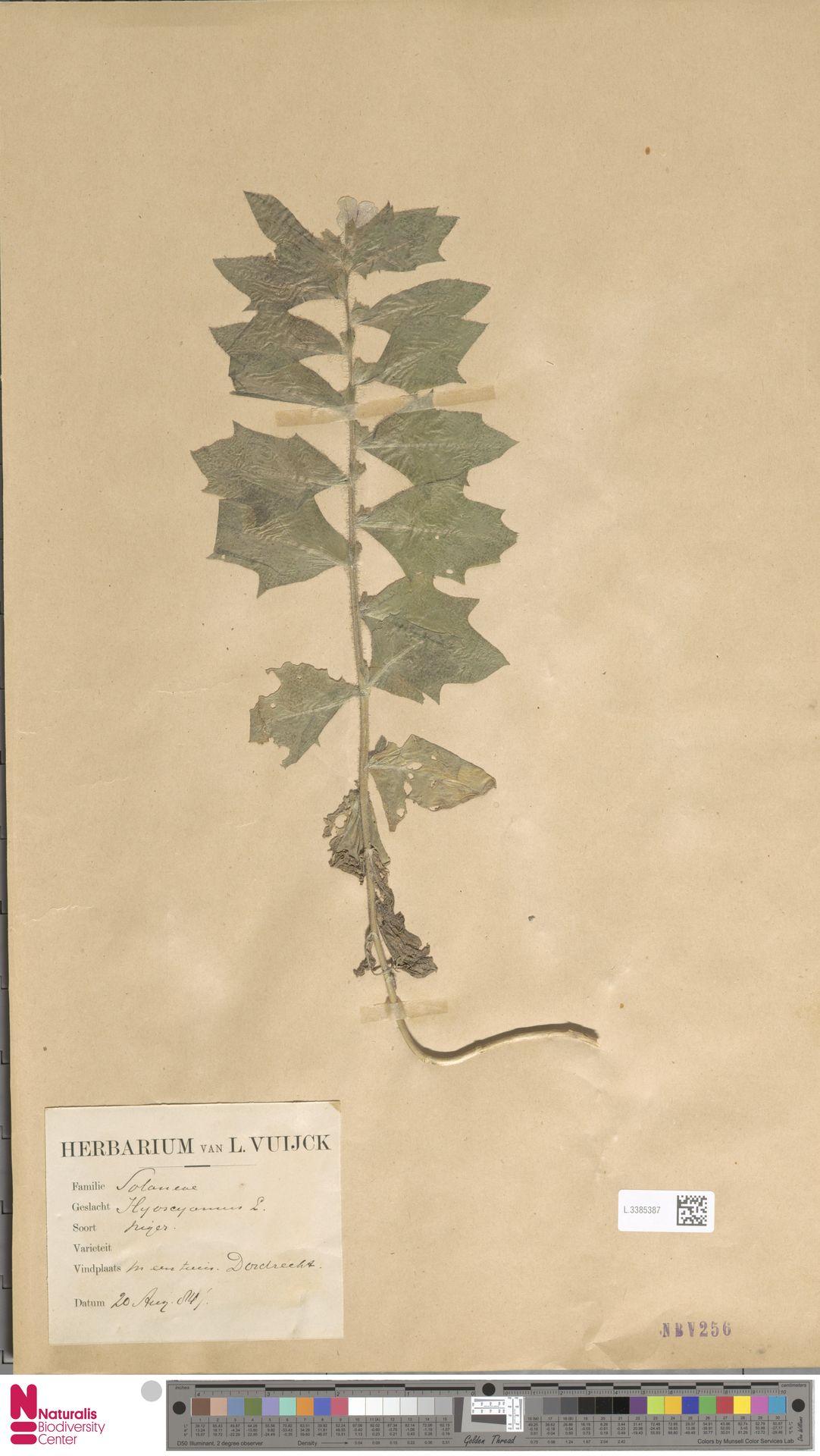 L.3385387 | Hyoscyamus niger L.