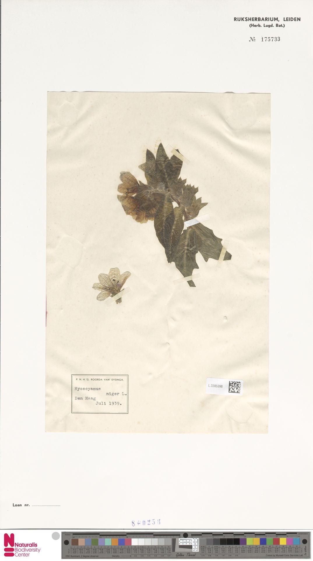 L.3385398 | Hyoscyamus niger L.