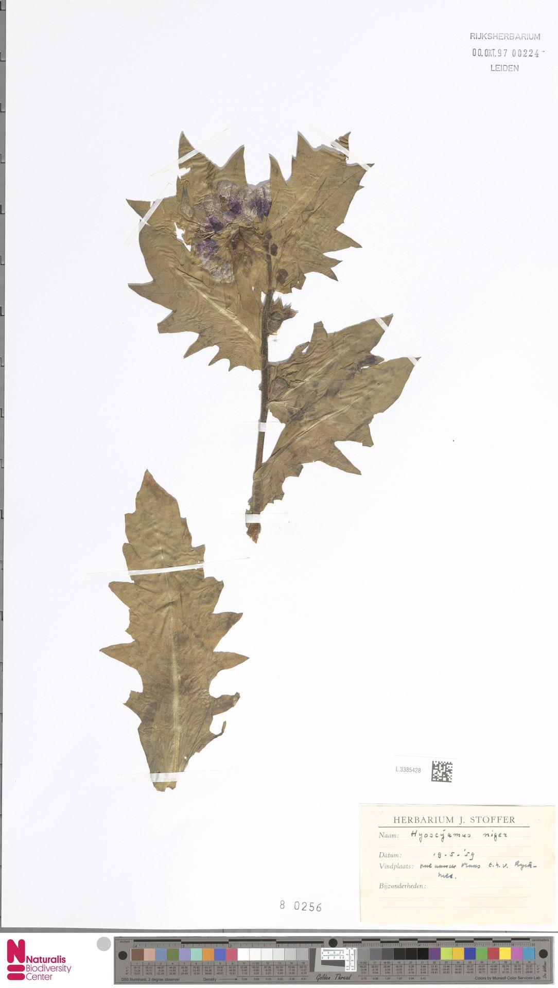 L.3385428 | Hyoscyamus niger L.