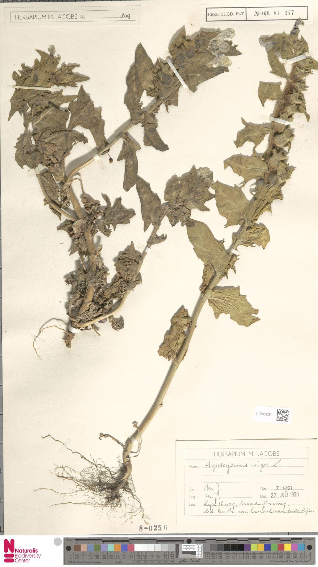 L.3385429 | Hyoscyamus niger L.
