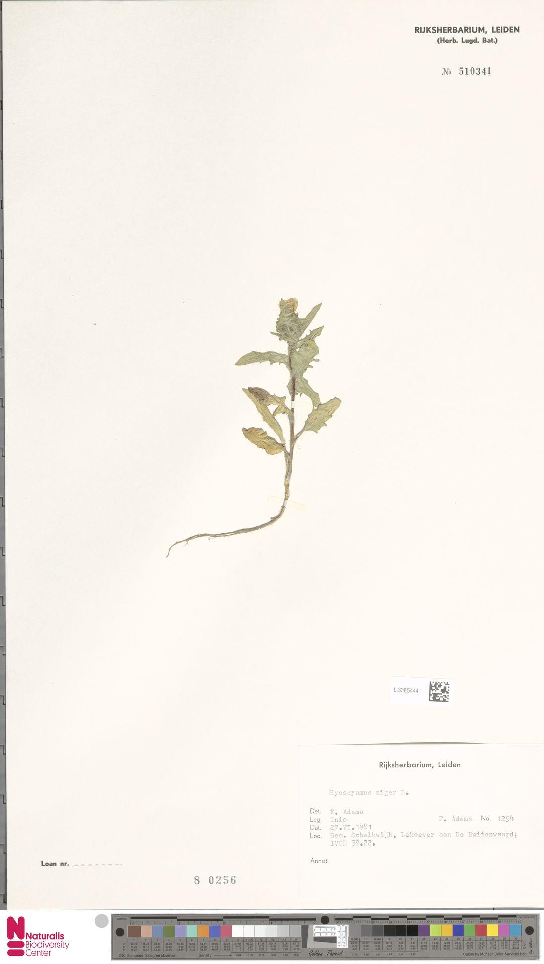 L.3385444 | Hyoscyamus niger L.