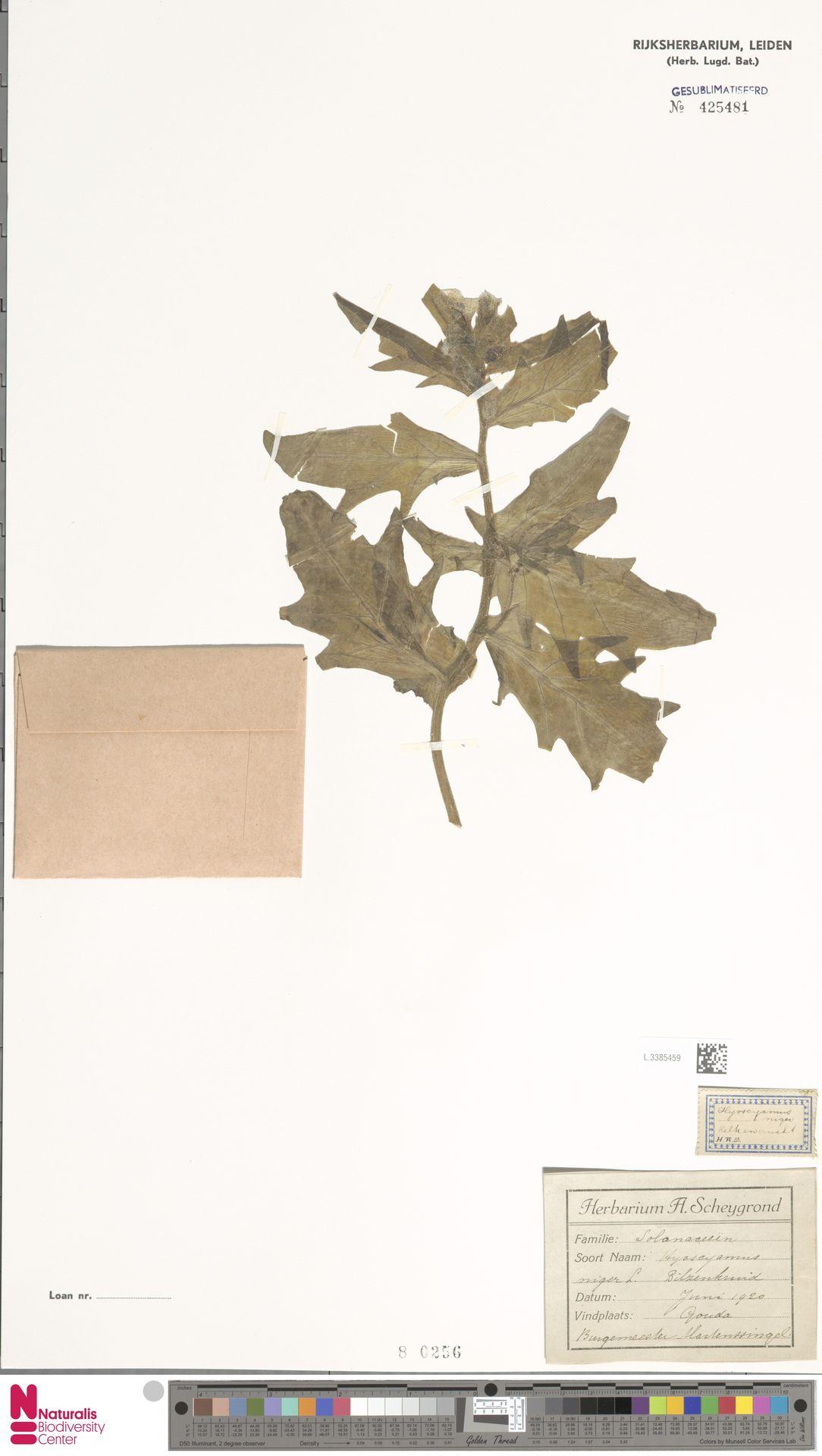 L.3385459 | Hyoscyamus niger L.