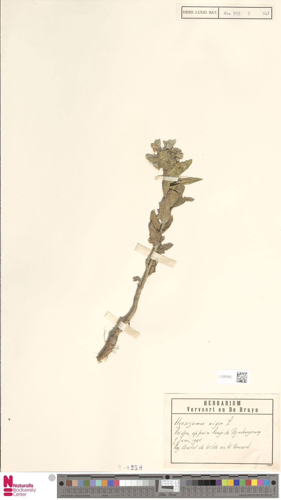 L.3385463 | Hyoscyamus niger L.