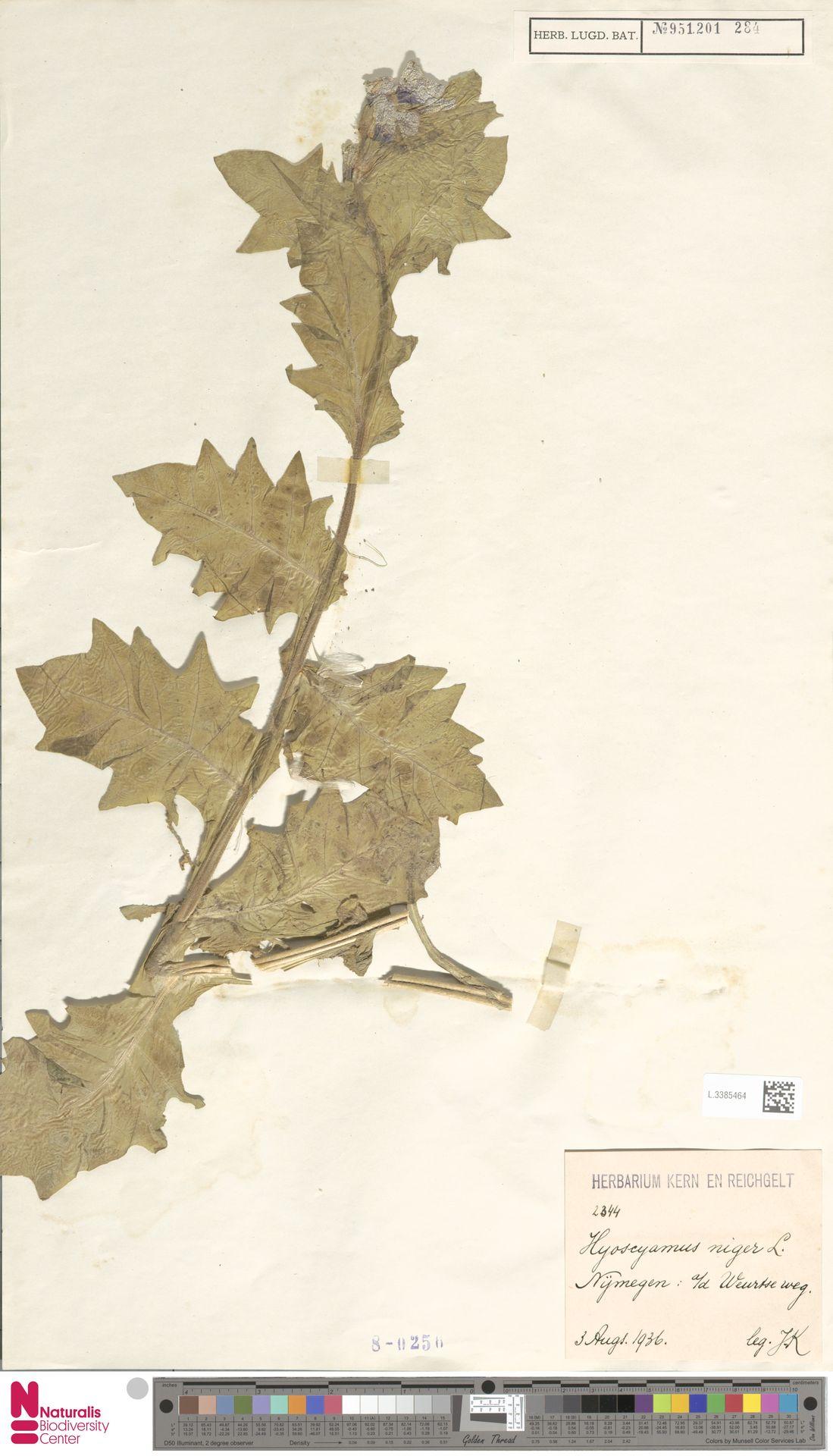 L.3385464   Hyoscyamus niger L.