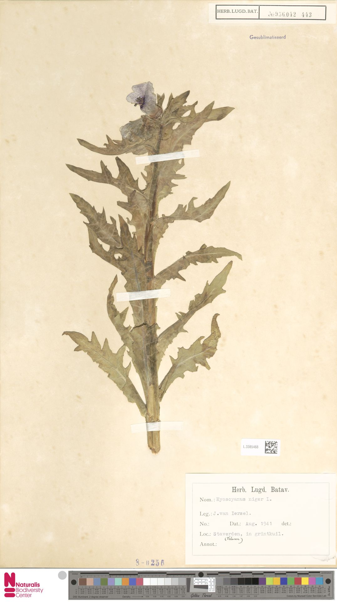L.3385468   Hyoscyamus niger L.