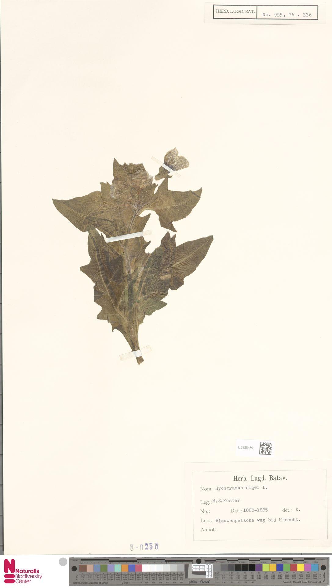 L.3385469   Hyoscyamus niger L.