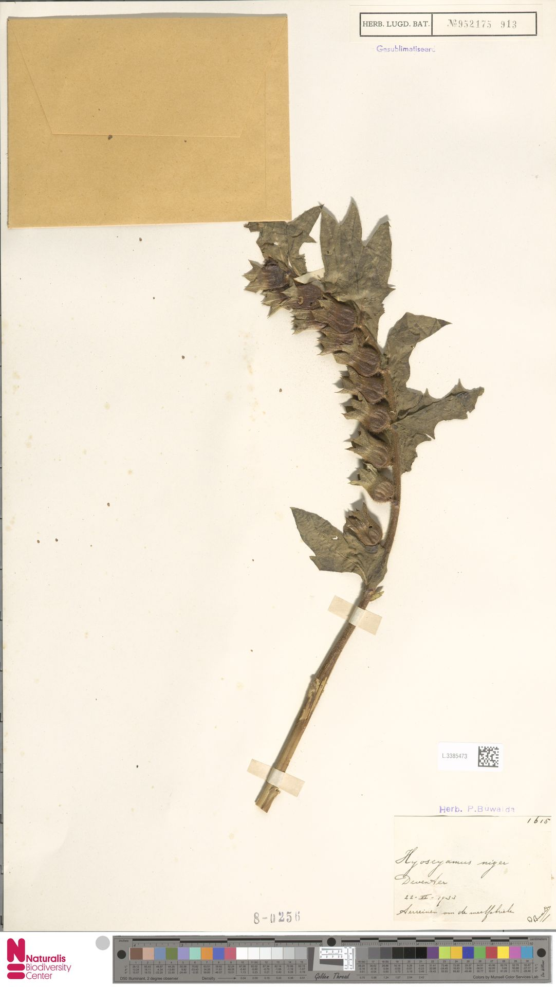L.3385473 | Hyoscyamus niger L.
