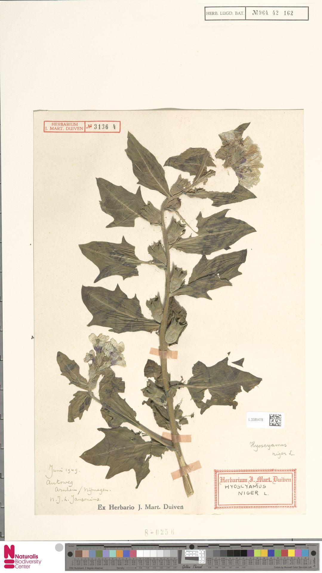 L.3385478   Hyoscyamus niger L.