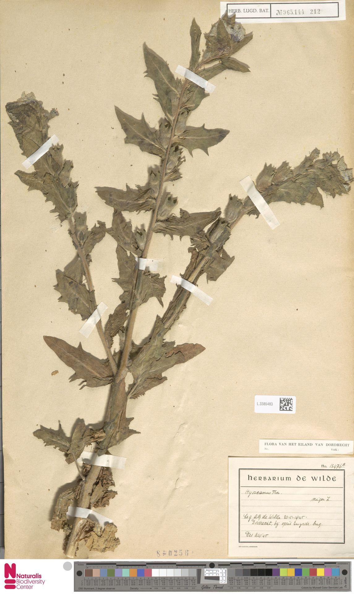 L.3385483 | Hyoscyamus niger L.