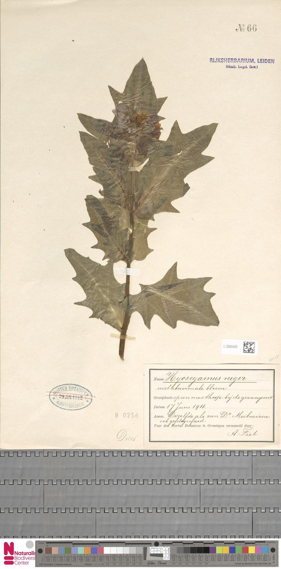 L.3385502 | Hyoscyamus niger L.