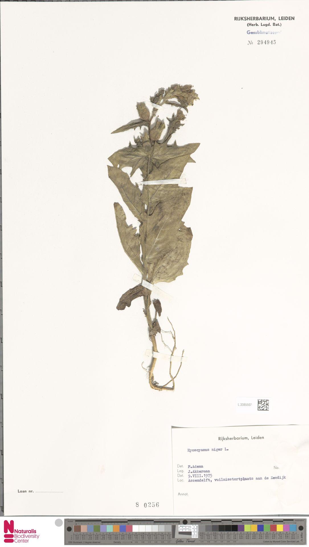 L.3385507 | Hyoscyamus niger L.