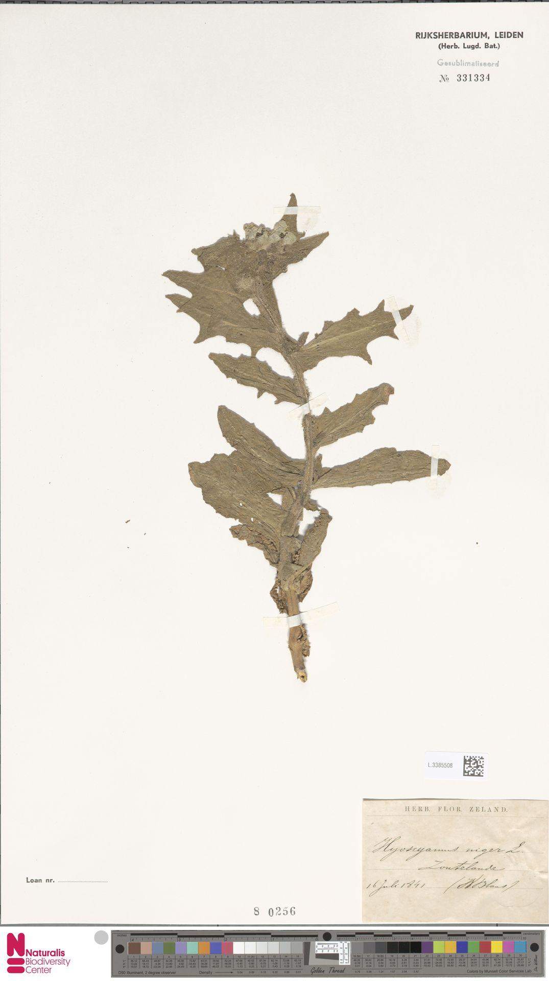 L.3385508 | Hyoscyamus niger L.