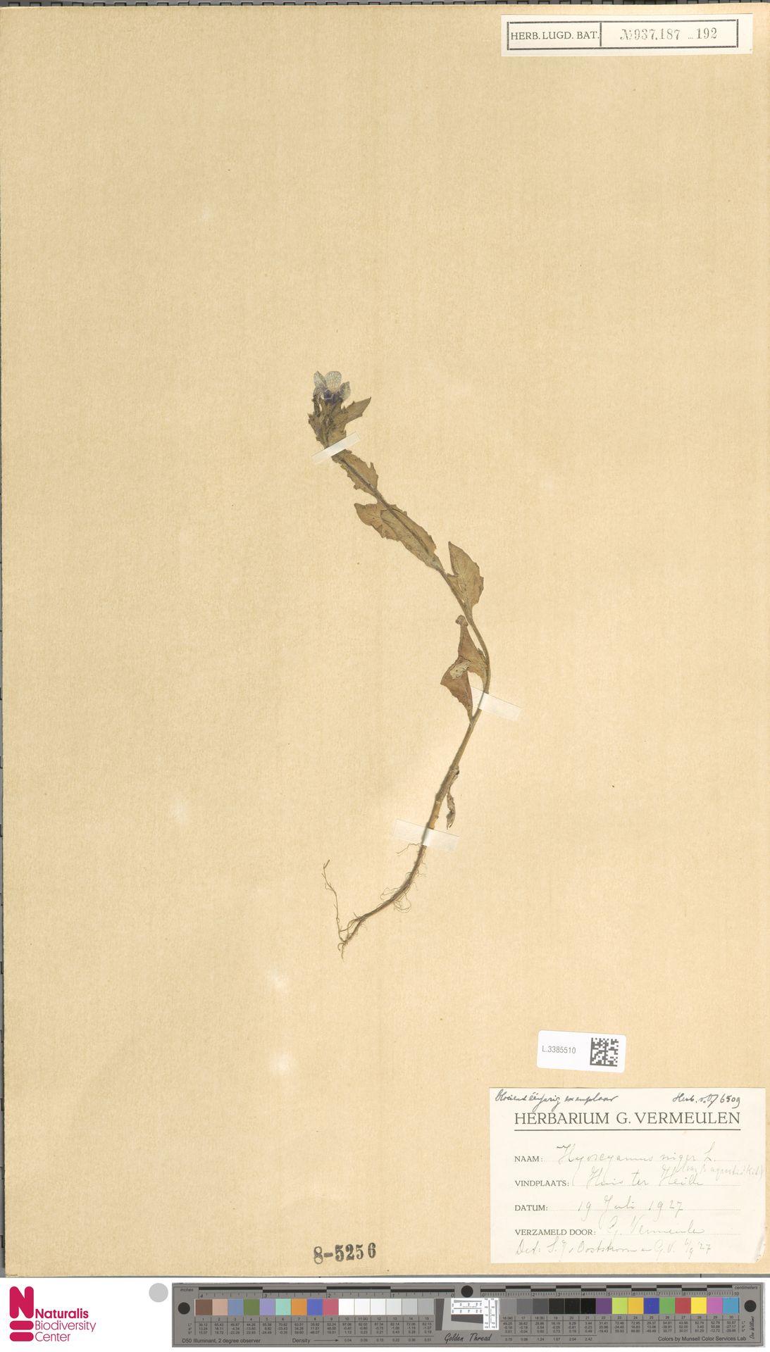 L.3385510 | Hyoscyamus niger L.