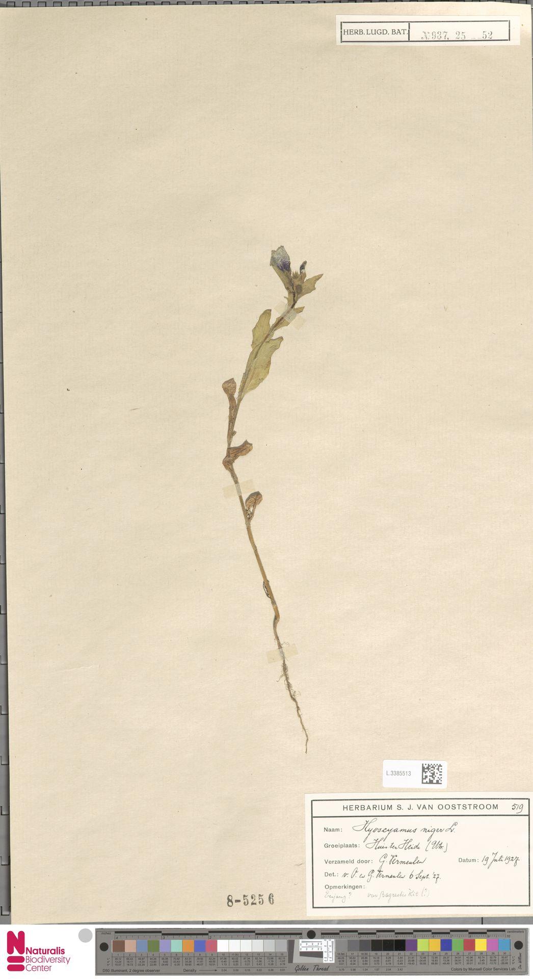 L.3385513 | Hyoscyamus niger L.
